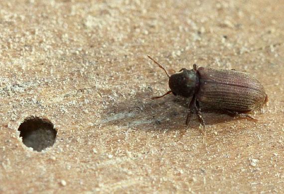 insectes xylophages maison ventana blog. Black Bedroom Furniture Sets. Home Design Ideas
